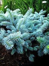 Вечнозеленые деревья и кустарники
