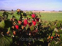 Производство ягод малины с использованием ремонтантных сортов