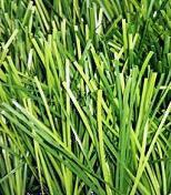 Трава искусственная для футбола,FIFA 12000 dtex60мм