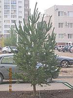 Деревья хвойных пород (сосна, ель, лиственница и др.) посадка и продажа