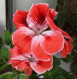 Mandarin / взрослое цветущее растение