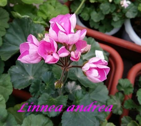 Linnea Andrea /тюльпановидная