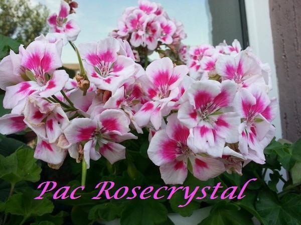 Pac Rosecrystal / укор.черенок
