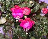 Zehlem 1200 / подрощенное растение, фото 2