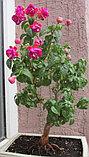 Zehlem 1200 / подрощенное растение, фото 3