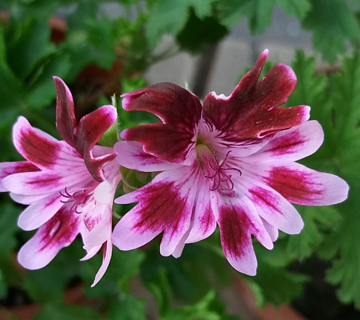 Bekswell Jester / подрощенное растение