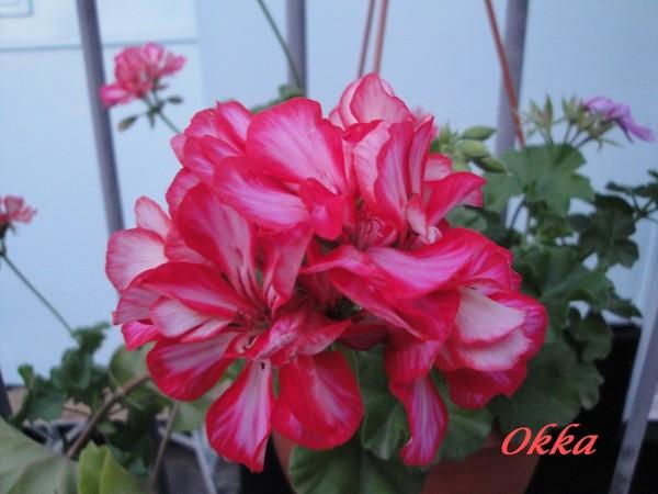 Okka / подрощенное растение