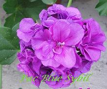 Pac Blue Sybil / подрощенное растение