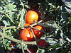Семена гибридного томата Бабай, фото 2