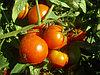 Семена гибридного томата Бабай, фото 3
