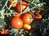 Семена гибридного томата Бабай, фото 4