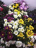Хризантема кустовая в горшке, фото 2