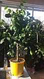 Лимонное дерево с плодами., фото 4