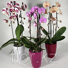 Орхидея микс.