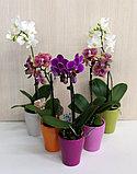Орхидея микс., фото 4