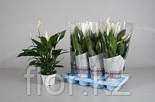 Спатифиллум (Женское счастье) Комнатные цветы. Горшечные растения.