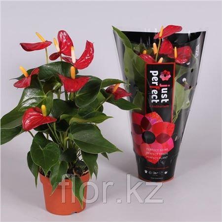 Антуриум. Комнатные цветы. Горшечные растения.