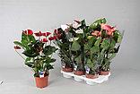 Антуриум. Комнатные цветы. Горшечные растения., фото 3
