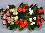 Антуриум. Комнатные цветы. Горшечные растения., фото 4