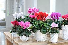 Цикламен. Комнатные цветы. Горшечные растения.