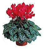 Цикламен. Комнатные цветы. Горшечные растения., фото 4