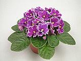 Фиалка (сенполия). Комнатные цветы. Горшечные растения., фото 2
