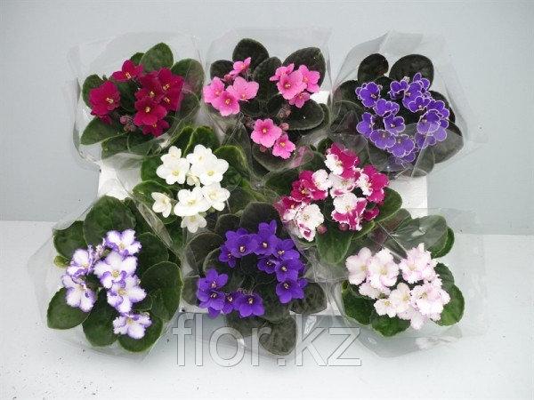 Фиалка (сенполия). Комнатные цветы. Горшечные растения.