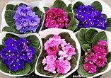 Фиалка (сенполия). Комнатные цветы. Горшечные растения., фото 3
