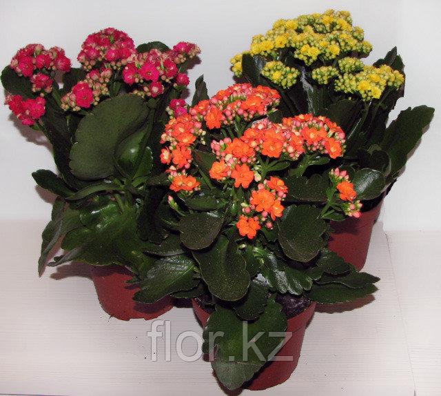 Каланхоэ. Комнатные цветы. Горшечные растения.