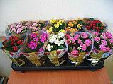 Каланхоэ. Комнатные цветы. Горшечные растения., фото 2