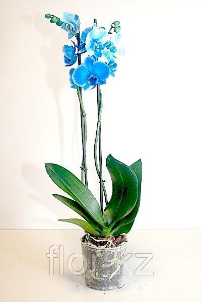Синяя орхидея!