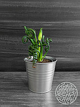Необычное растение Альбука