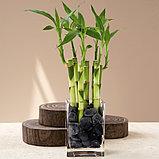 Бамбук счастья, фото 2