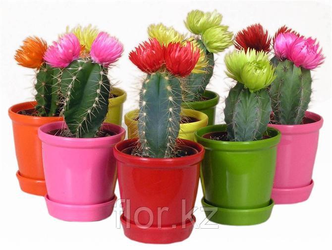 Кактус. Комнатные цветы. Горшечные растения.