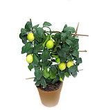 Лимонное дерево с плодами., фото 2