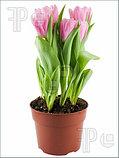Тюльпан в горшочках!), фото 2