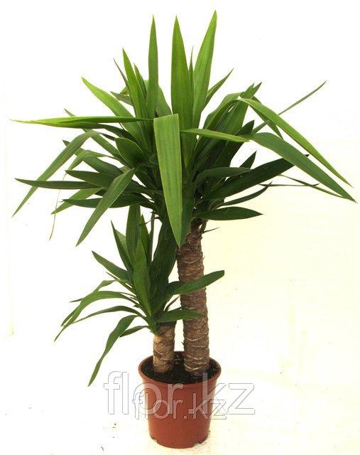 Юкка -домашняя пальма!