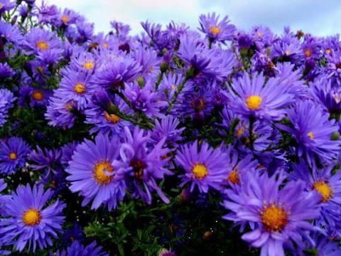 Цветы-многолетние хризантема октябрина