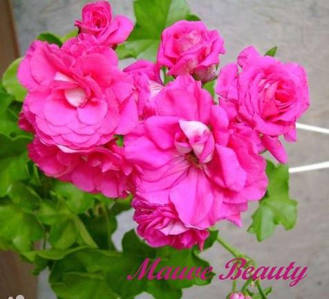 Mauve Beauty / укор.черенок