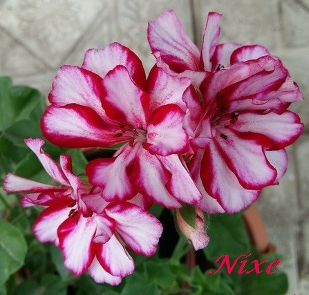 Nixe / подрощенное растение