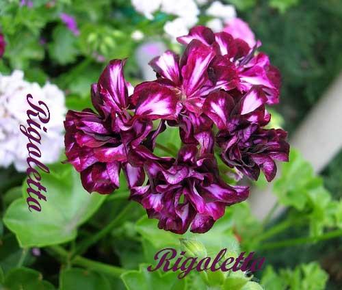 Rigoletto/ укор.черенок