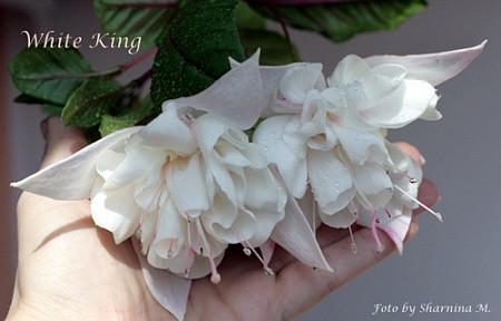White King / подрощенное растение