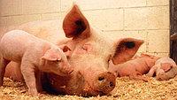 Оборудование для свиноферм