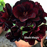 Black Magic, фото 2