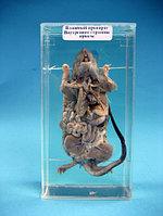 Влажный препарат Внутреннее строение крысы