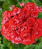 Rosebud Supreme /розебуд / укор.черенок, фото 2