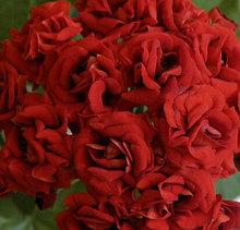 Botan's Roda/розебуд /подрощенное растение
