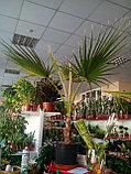 Пальма Вашингтония 130см, фото 2