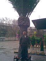 Искусственные растения 16130 Date Palm 3266LVS, фото 1