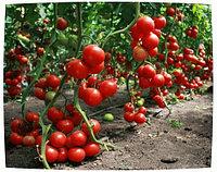 Семена томата Вазира F1